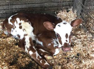 A calf - from Robie Farm
