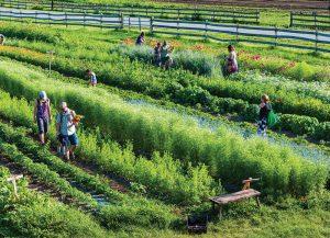 CSA customers picking their produce at Sweetland.
